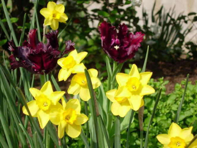 Tulip 'Black Parrot', one of our staples, looks terrific with pale yellow daffodils.