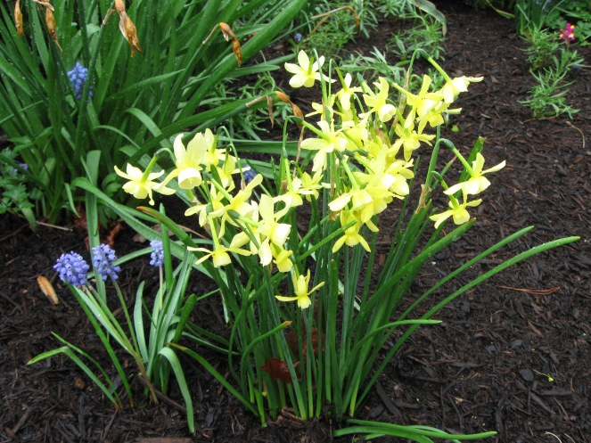 Tiny but magical, daffodil 'Hawera' is one of my favorites.