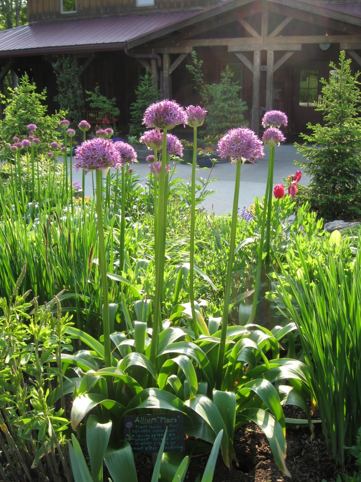 Statuesque Allium 'Mars' highlights the gardens in May