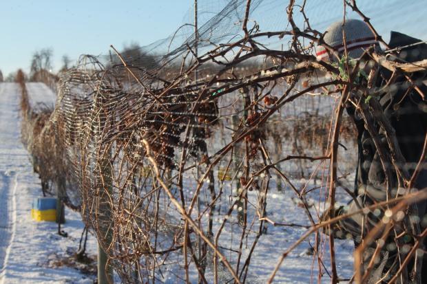 ice-wine-harvest